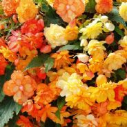 Begonia F1 Illumination Apricot - Hanging Basket type - 20 seeds